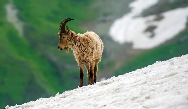 Фото: Животное горная серна