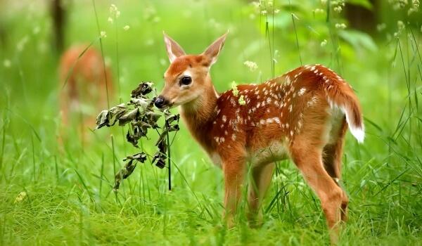 Фото: Детеныш сибирской косули