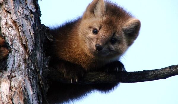 Фото: Животное тайги соболь