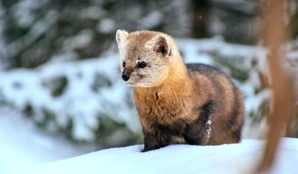 Фото: Соболь на снегу