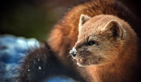 Фото: Животное соболь