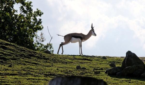 Фото: Антилопа спрингбок