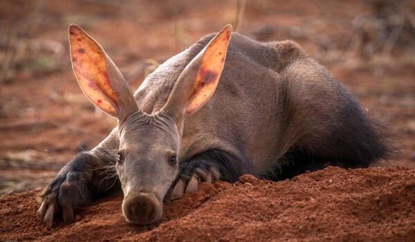 Фото: Животное трубкозуб