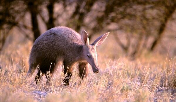 Фото: Животное трубкозуб из Африки
