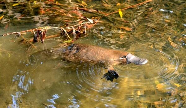 Фото: Утконос в Австралии