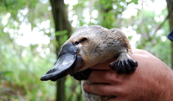 Фото: Австралийский утконос