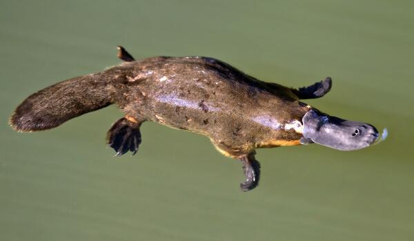 Фото: Животное утконос
