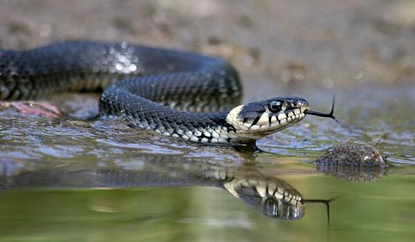 Фото: Уж змея
