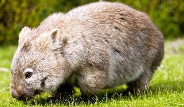Фото: Вомбат в Австралии
