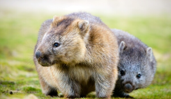 Фото: Животное вомбат