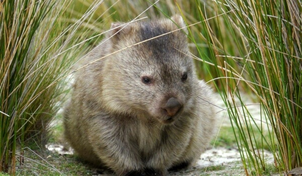 Фото: Вомбат животное Австралии