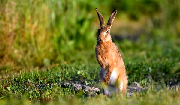 Фото: Заяц русак в степи