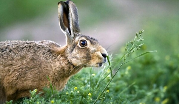 Фото: Крупный заяц русак