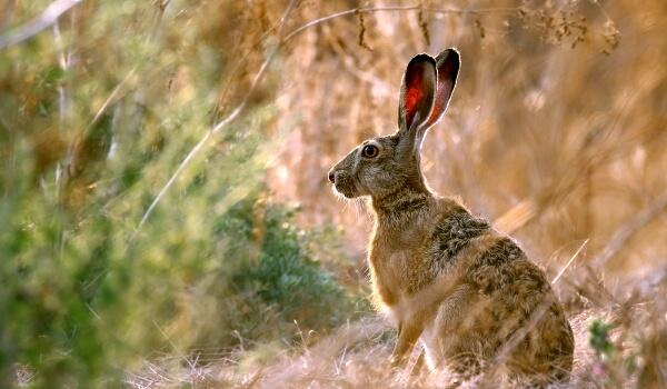 Фото: Животное заяц русак