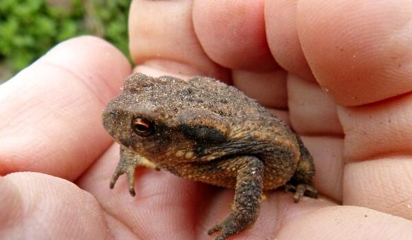 Фото: Земляная жаба в России