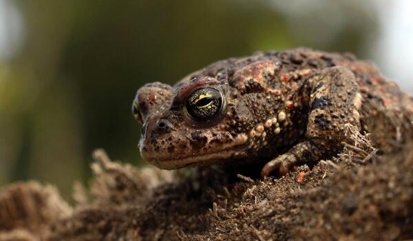 Фото: Земляная жаба