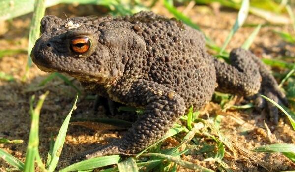 Фото: Земляная жаба на огороде