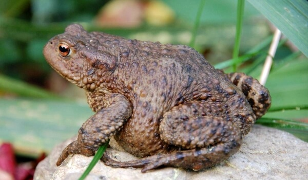 Фото: Земляная жаба в природе