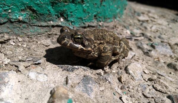 Фото: Земляная жаба земноводное