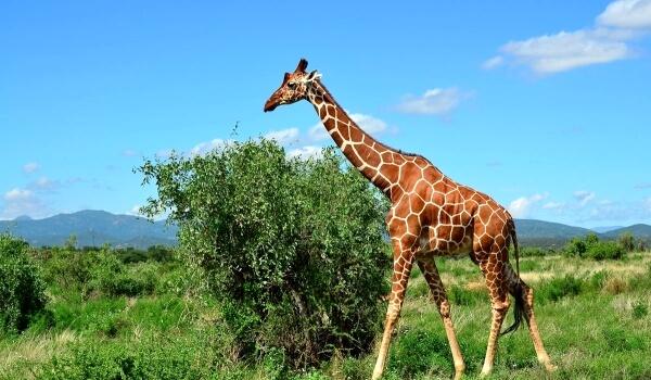 Фото: Большой жираф