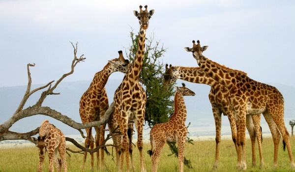 Фото: Жирафы в Африке