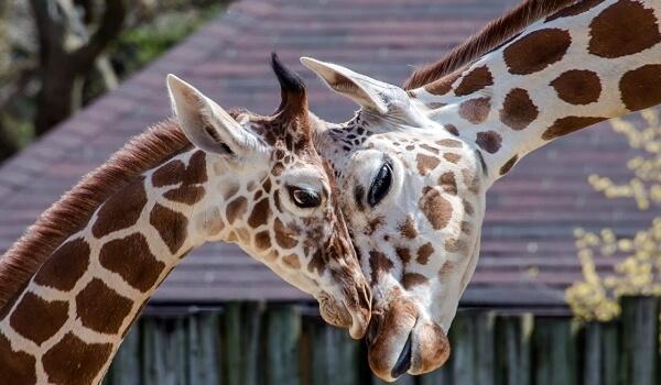 Фото: Детеныш жирафа