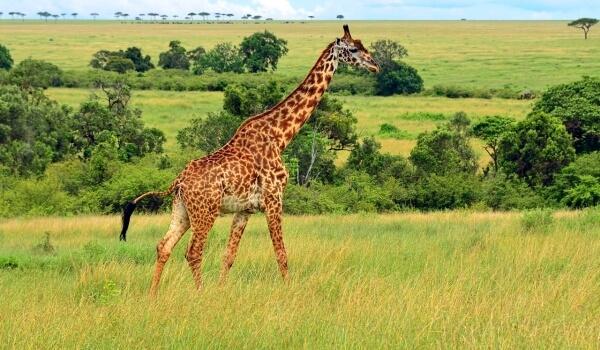 Фото: Жираф