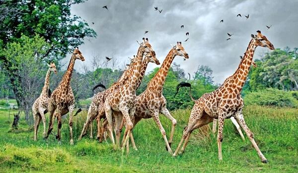 Фото: Африканские жирафы