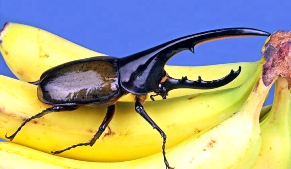 Фото: Большой жук геркулес