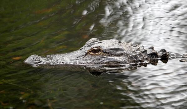 Фото: Аллигатор в воде