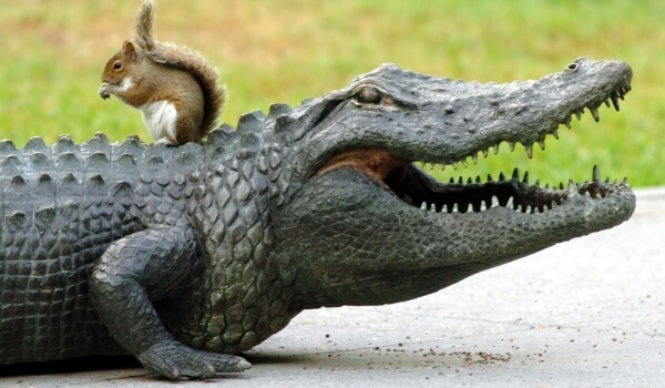 Фото: Аллигатор в Америке