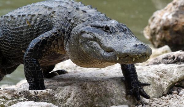 Фото: Большой аллигатор