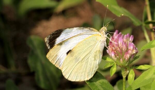 Фото: Бабочка белянка капустница