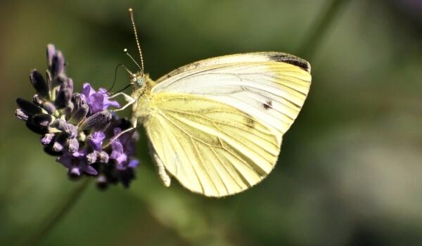 Фото: Насекомое бабочка капустница