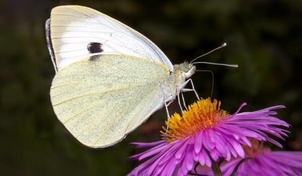 Фото: Бабочка капустница