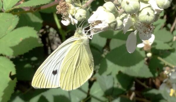 Бабочка Белянка капустная (Капустница). Насекомое вредитель | 350x600