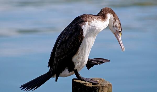 Фото: Птица баклан