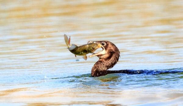 Фото: Баклан и рыба