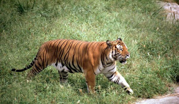 Фото: Балийский тигр