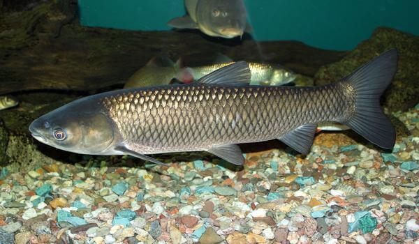 Фото: Белый амур рыба