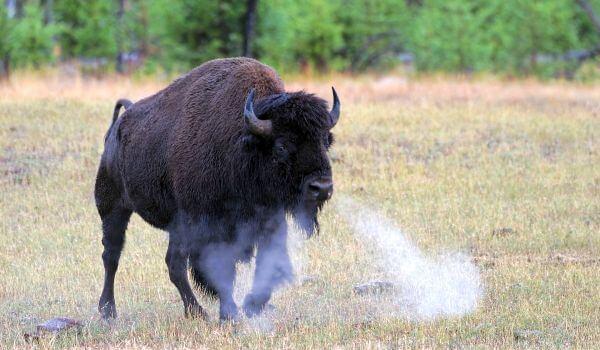 Фото: Бизон животное