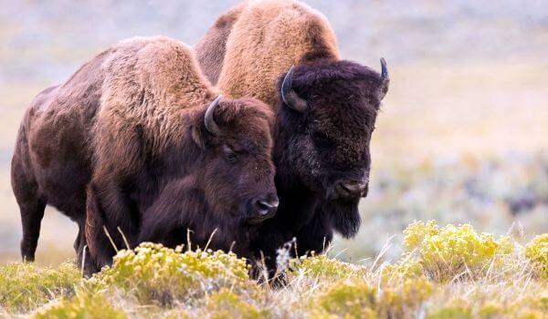 Фото: Бизоны из Америки