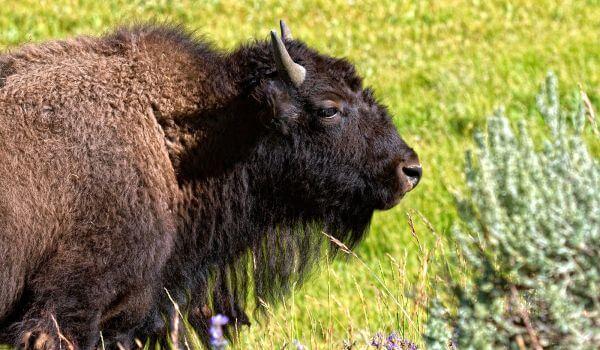 Фото: Американский бизон