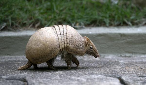 Фото: Животное броненосец