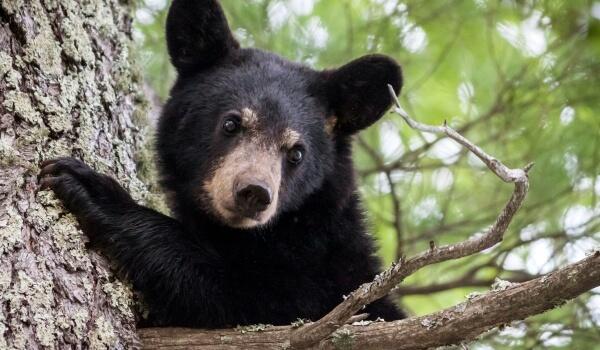 Фото: Животное черный медведь