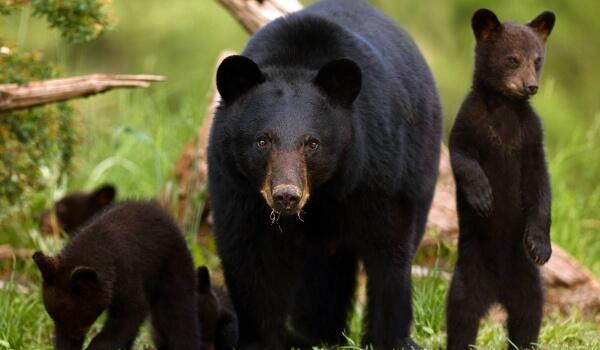 Фото: Детеныши черного медведя