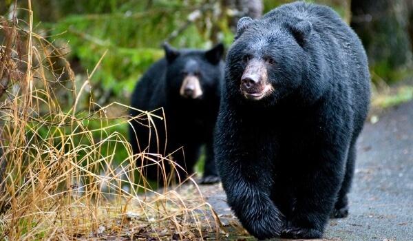 Фото: Черный медведь в лесу