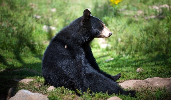 Фото: Черный медведь