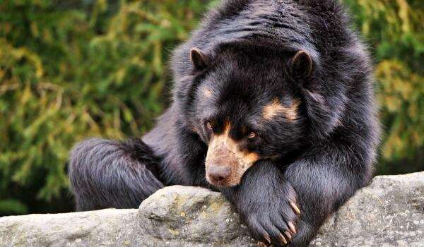 Фото: Черный медведь Барибал