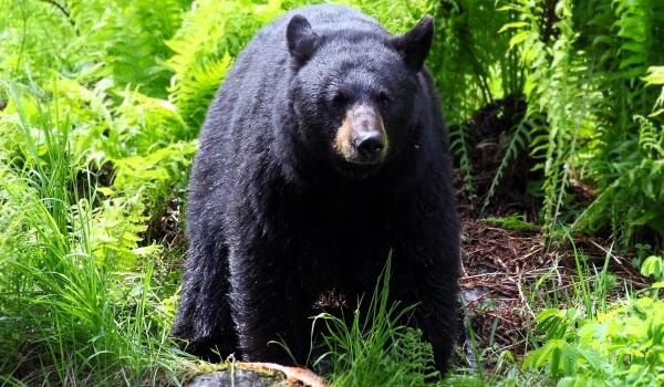 Фото: Большой черный медведь